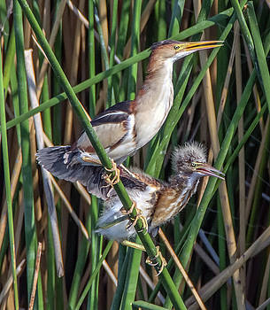 Least Bittern Adult and Juvenile 3695 by Tam Ryan