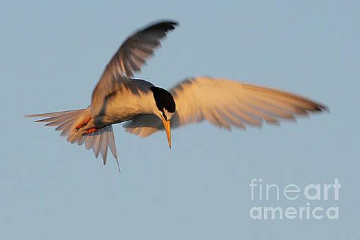 Least Tern Fishing by Meg Rousher