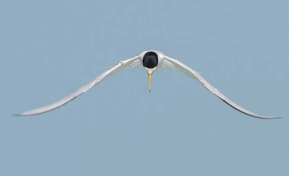 Least Tern Inflight by Jim Gray