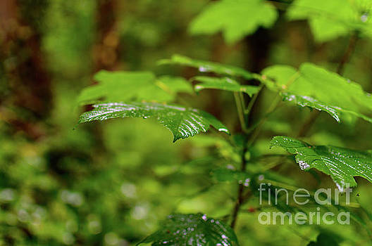Leaves After Rain by Sinisa CIGLENECKI