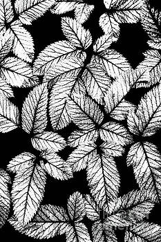 Dan Carmichael - Leaves BW