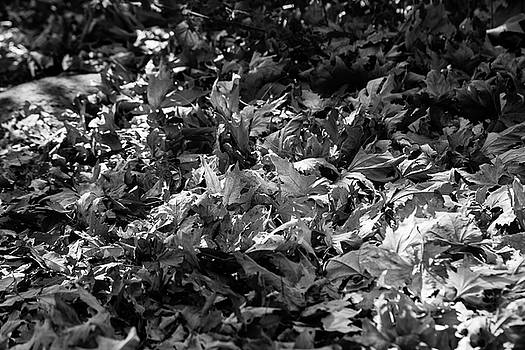 Leaves during autumn in black and white by Yoel Koskas