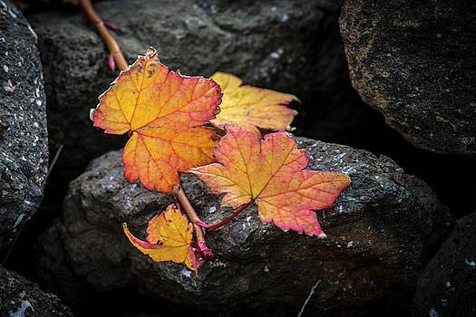 Leaves on rocks by Hitendra SINKAR