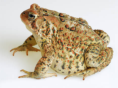 Reimar Gaertner - Left side view of American Toad on white background