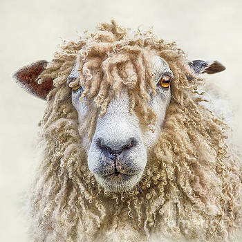 Leicester Longwool Sheep by Linsey Williams