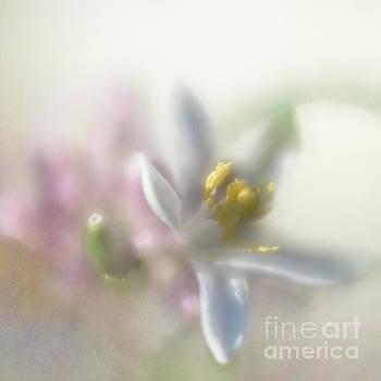 Lemon blossom by Elena Nosyreva