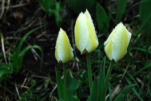 Edward Sobuta - Lemon Ice Tulips