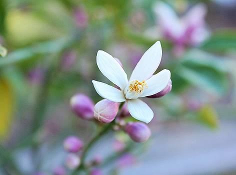 Lemon Tree Very Pretty by Marcia Breznay