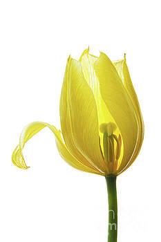 Lemon Tulip 1 by Ann Garrett