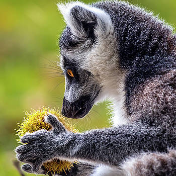 Lemur and Sweet Chestnut by Nick Bywater