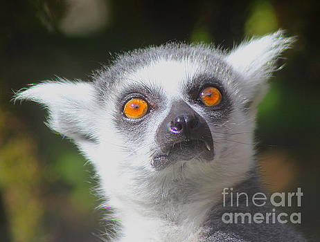 Lemur by Beth Jacobs