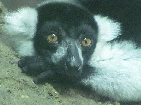 Lemur in Love by Lisa Oliver-McNeer