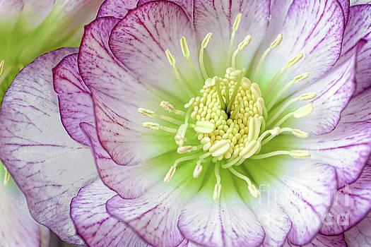 Regina Geoghan - Lenten Rose in Full Beauty