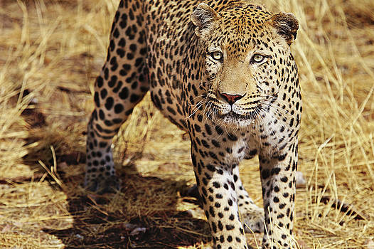 Leopard at the Duesternbrook guest farm  Namibia by Martin Wackenhut