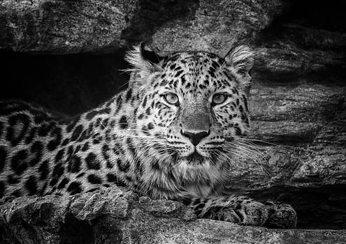 Leopard Black and White by Stephanie McDowell