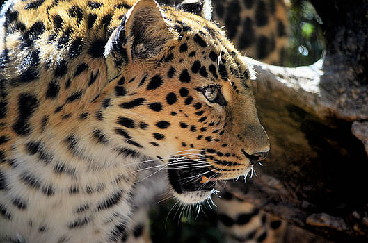 Leopard  by Diamond Jade