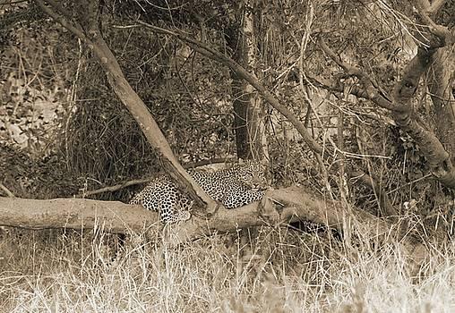 Leopard by Felix Concepcion