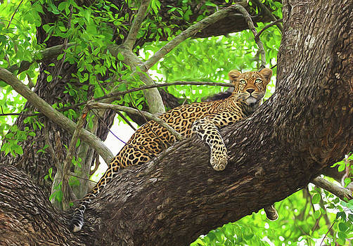 Leopard Hanging Out in a Tree by Kay Kochenderfer
