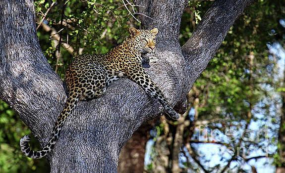 Leopard in a tree, Africa wildlife by Wibke W