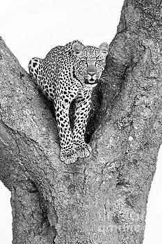 Leopard in a Tree by Richard Garvey-Williams