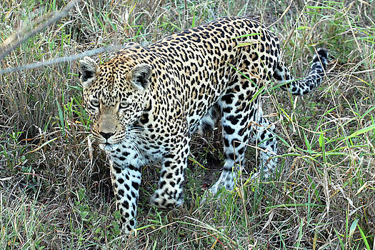 Harvey Barrison - Leopard in the Brush Study Number One