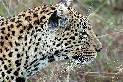 Harvey Barrison - Leopard in the Brush Study Number Two