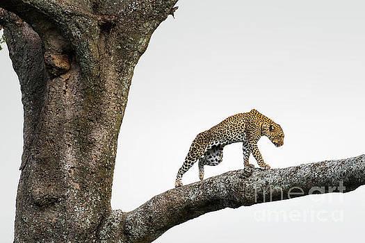 RicardMN Photography - Leopard in tree in the Serengeti savanna