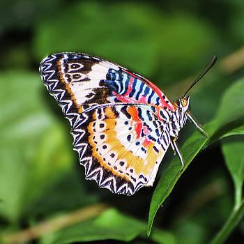 Leopard Lacewing Buterfly by Winnie Chrzanowski