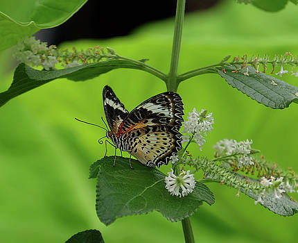 Leopard Lacewing digesting by Ronda Ryan