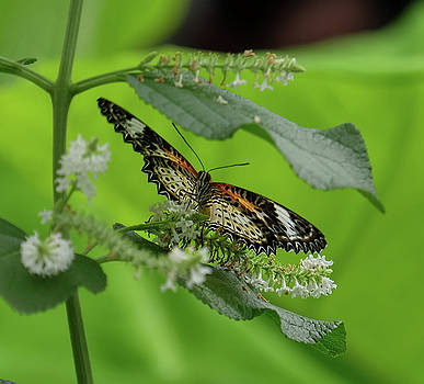 Leopard Lacewing dining by Ronda Ryan