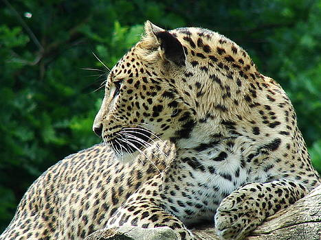 Leopard by Nicola Butt