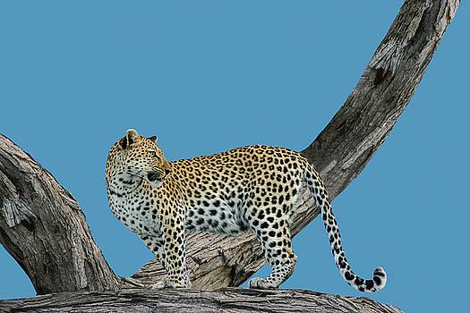 Leopard On The Lookout 2 by Kay Kochenderfer