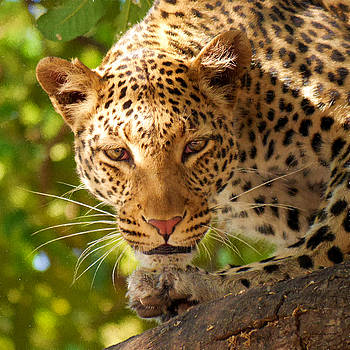 Leopard on the Prowl - Painting by Ericamaxine Price