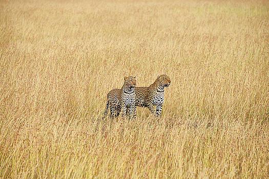 Leopard pair by Balram Panikkaserry