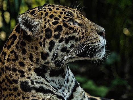 Stephen Barrie - Jaguar Portrait