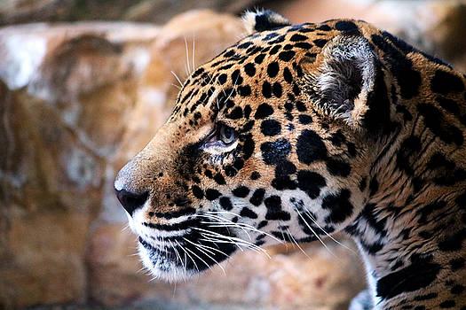 Leopard by Steve ODonnell