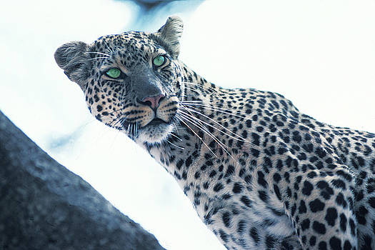 Leopard with Green Eyes by Carl Purcell