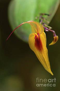 Heiko Koehrer-Wagner - Lepanthes maxonii Orchid Macro