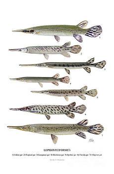 Lepisosteiformes by Emily Damstra