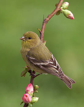 Lesser Goldfinch by Doug Herr
