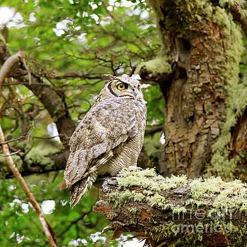 Lesser horned owl also called Magellanic horned owl by Louise Heusinkveld