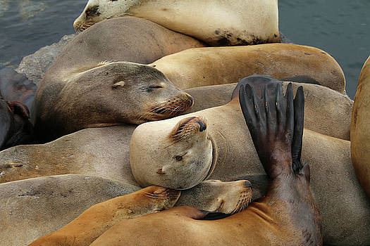 Art Block Collections - Let Sleeping Sea Lions LIe