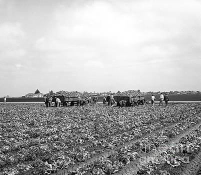 Lettuce Harvest, harvester and workers in fields, 1947 by California Views Mr Pat Hathaway Archives