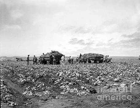 Lettuce Harvest, harvester and workers loading on to trucks in fields 1947 by California Views Mr Pat Hathaway Archives