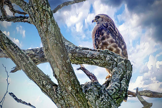 Leucistic Red-shouldered Hawk 3 by Brian Wallace