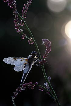 Libelle in dew by Ronald Jansen
