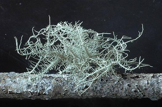 Lichen by Dave Fischer