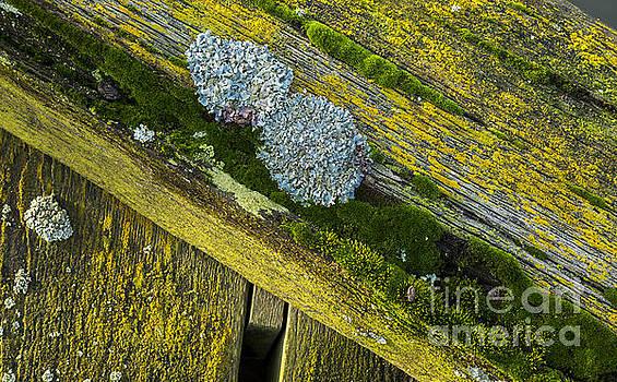 Lichen on wood. by John Cox