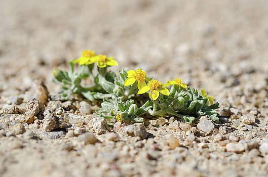 Margaret Pitcher - Life in the Desert