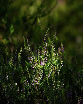 Ismo Raisanen - Light and Shadows on Common Heathers